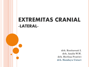extremitas cranial -lateral