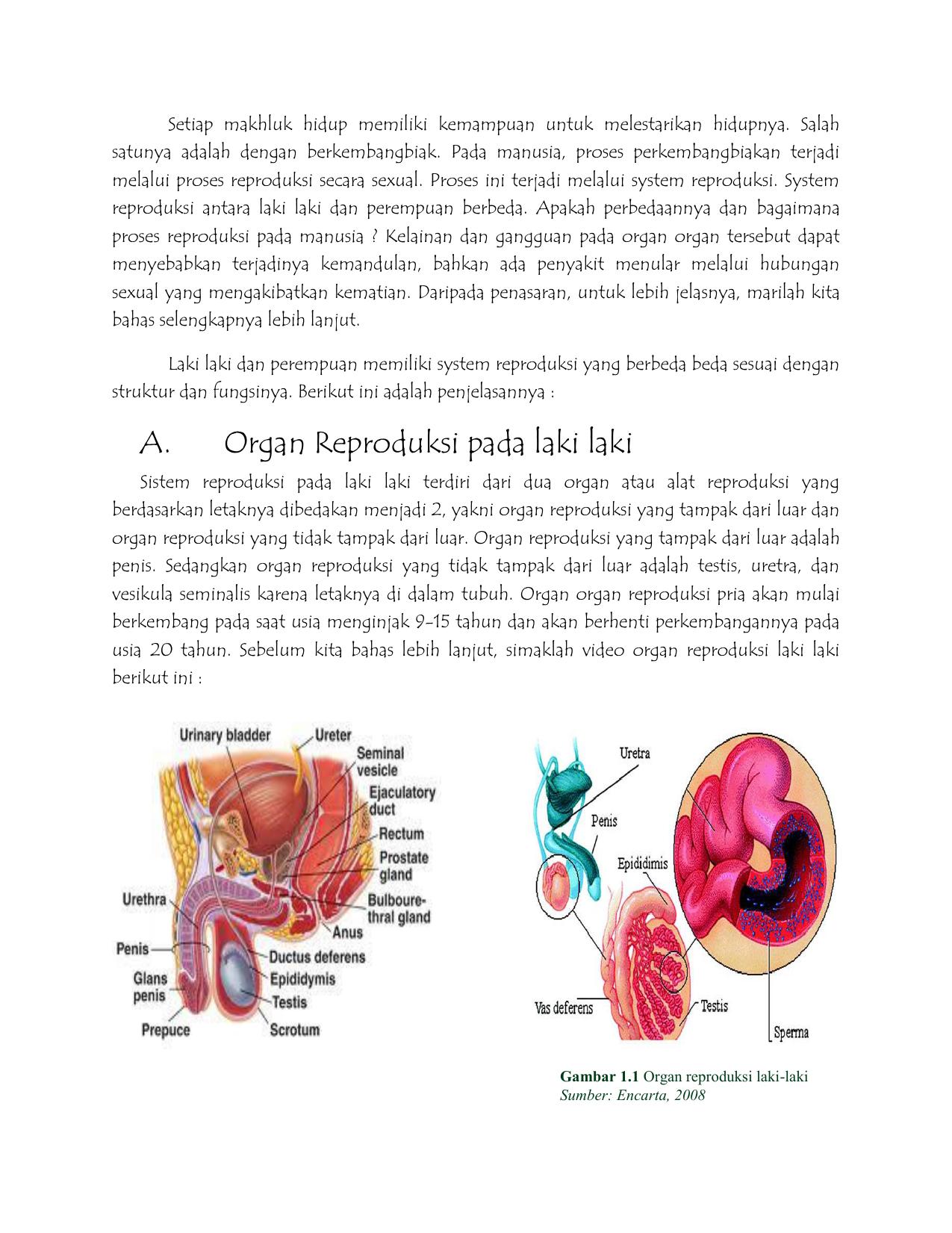 A Organ Reproduksi Pada Laki Laki